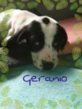 Geranio (2)
