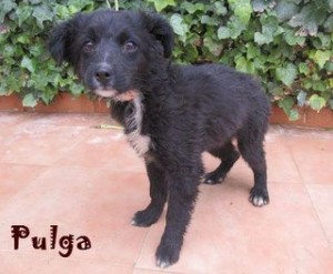 Pulga (4)
